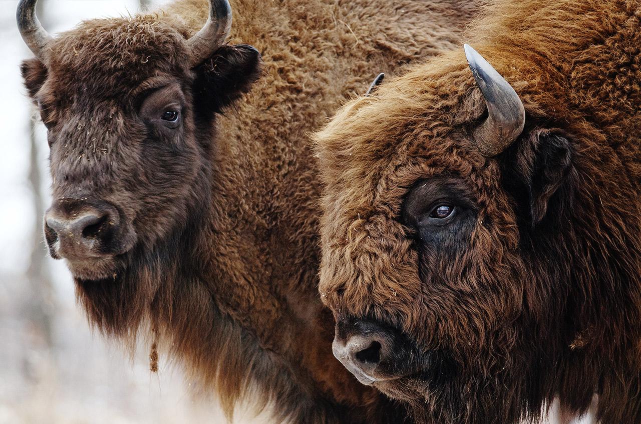 Tender Bison