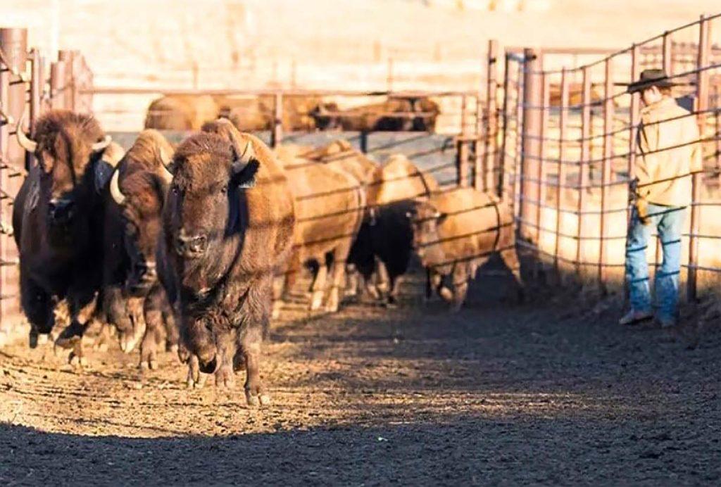 Bison Rancher Profile - Meet Conner Buchholtz