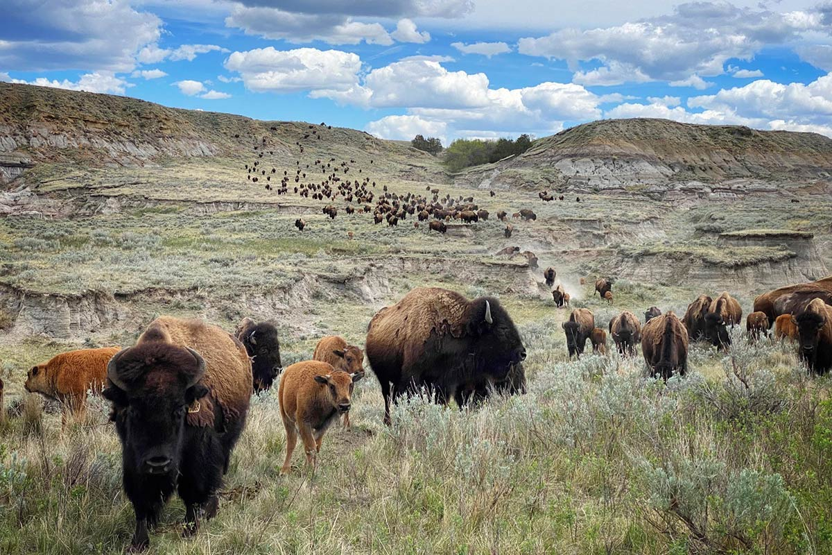 Ten Fascinating Facts About Bison